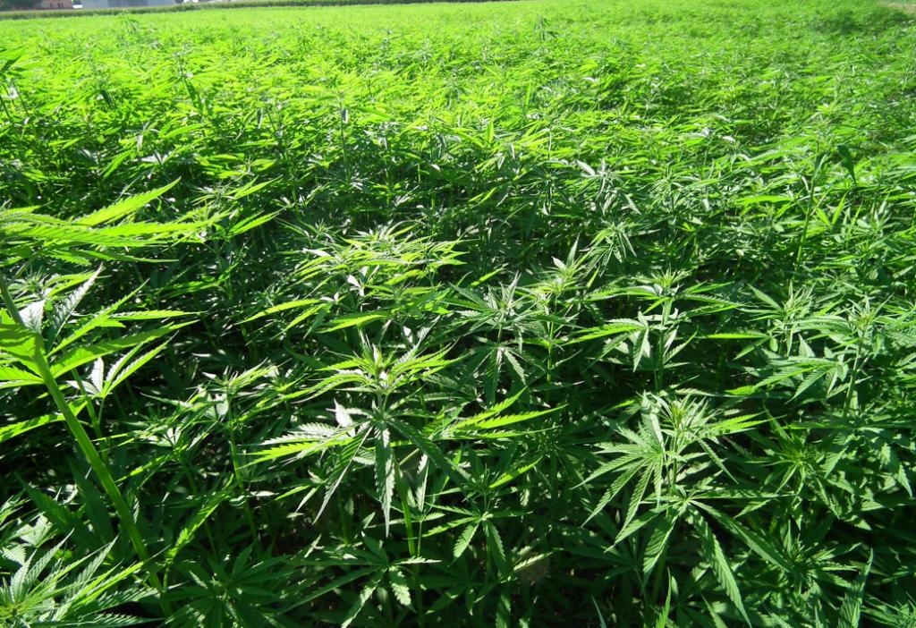 Una piantagione di cannabis