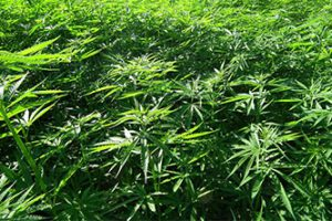 Scoperta dei ricercatori Unimore apre a prospettive di impiego della Cannabis Sativa per nuove terapie antidepressive