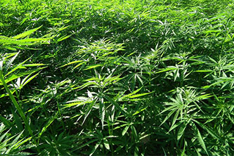 Coltivazione di cannabis